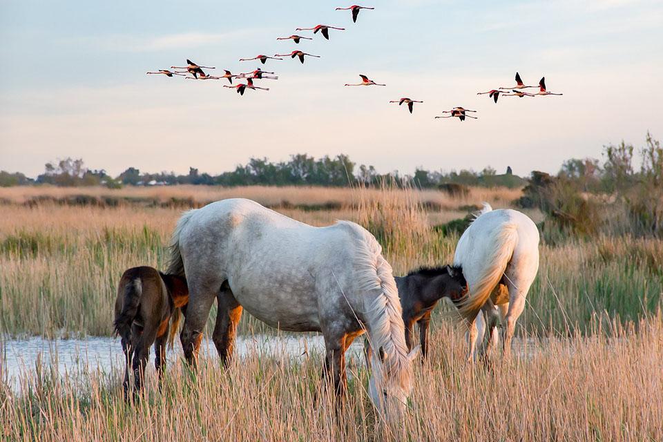 chevaux-de-camargue