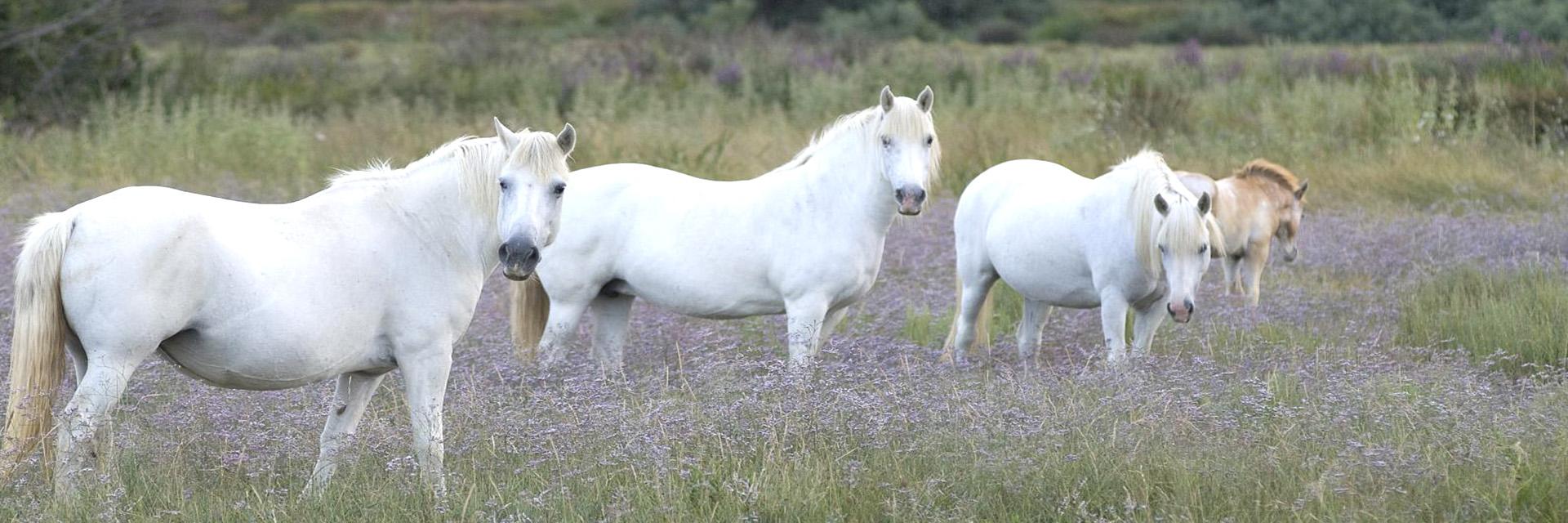 village-vacance-les-hameaux-de-camargue-cheval