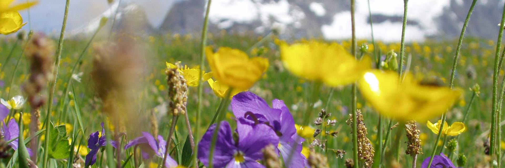 fleurs-montagne-ete